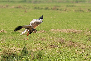 Aguia-sapdeira-img_4781