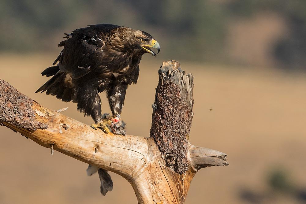 aguia-imperial_i7a1726