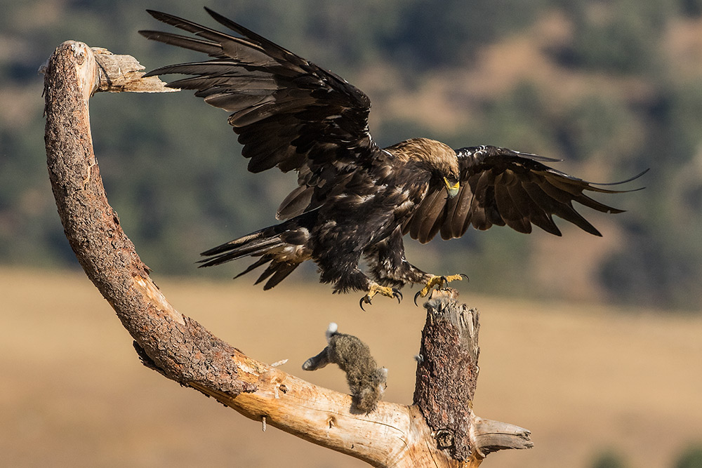 aguia-imperial_i7a1851