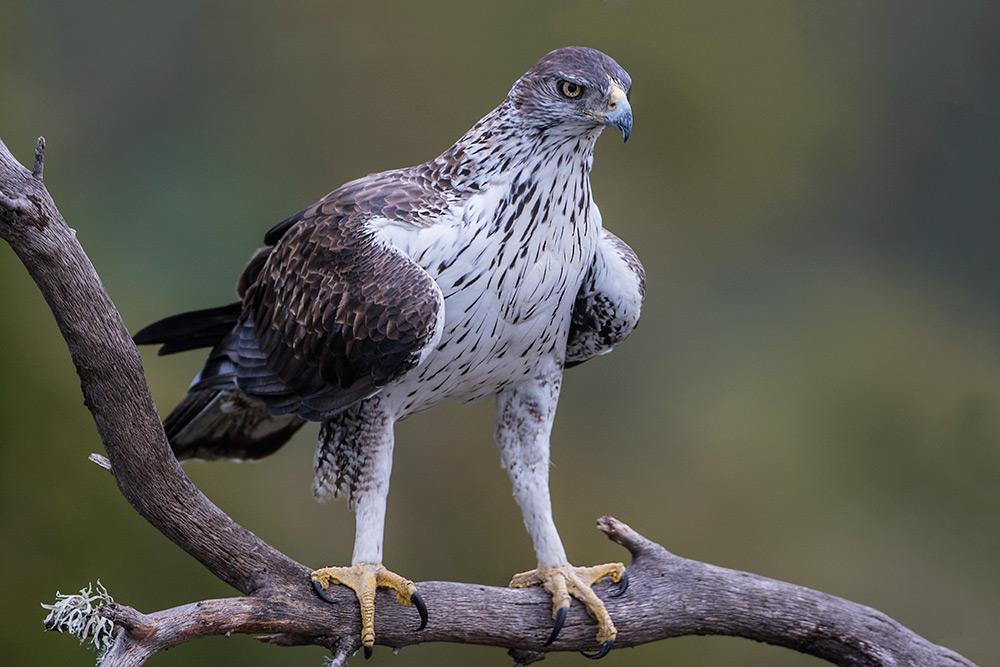 aguia-perdigueira_i7a3714