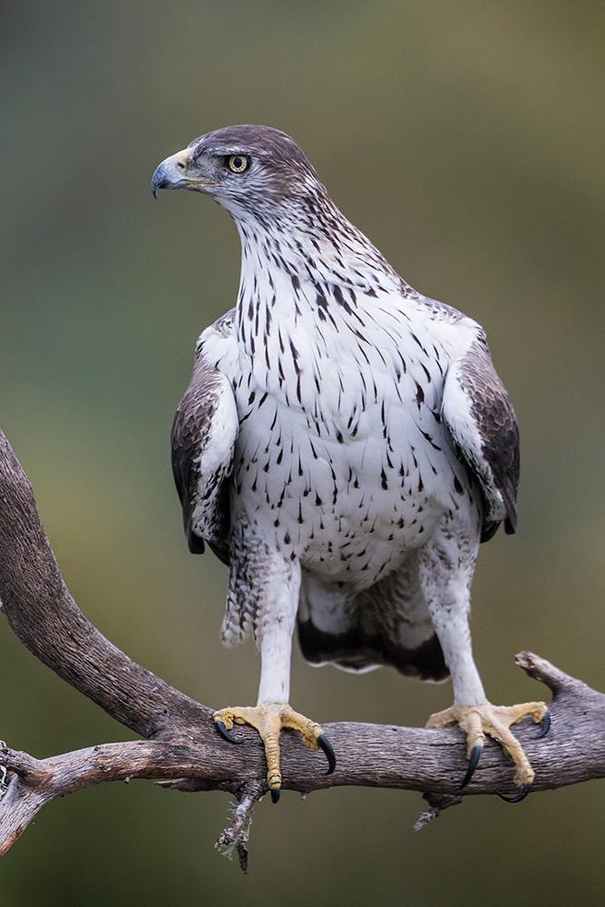 aguia-perdigueira_i7a3744