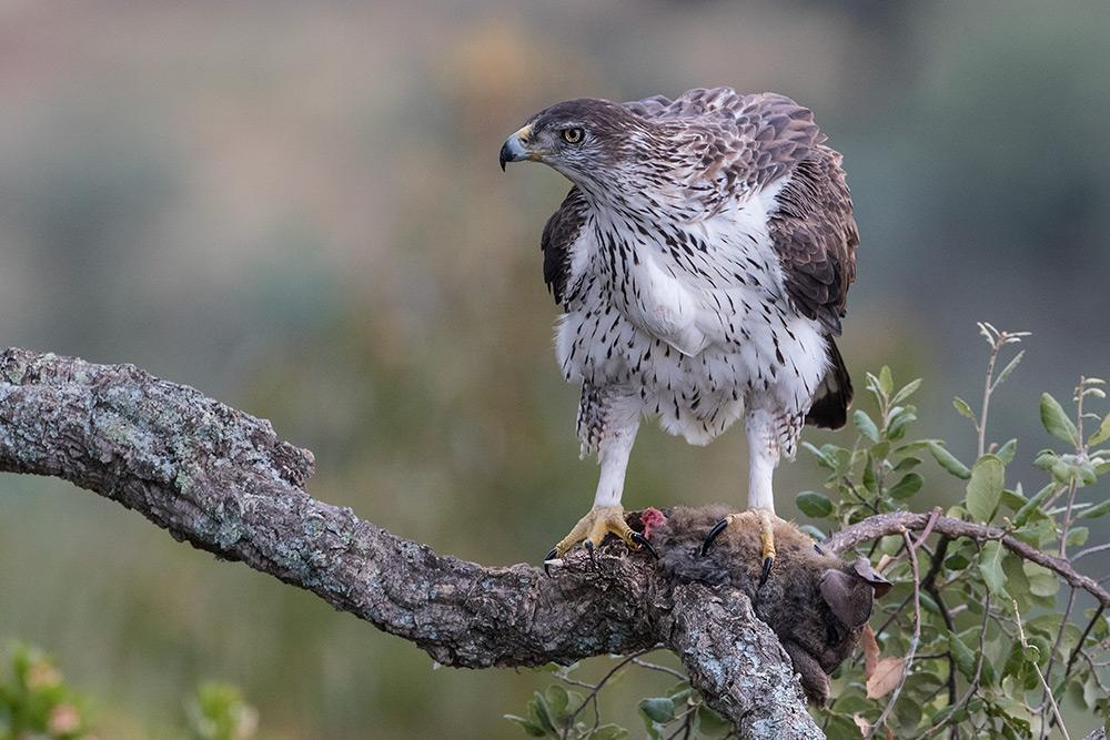 aguia-perdigueira_i7a4084