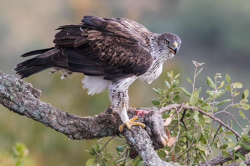 aguia-perdigueira_i7a4306