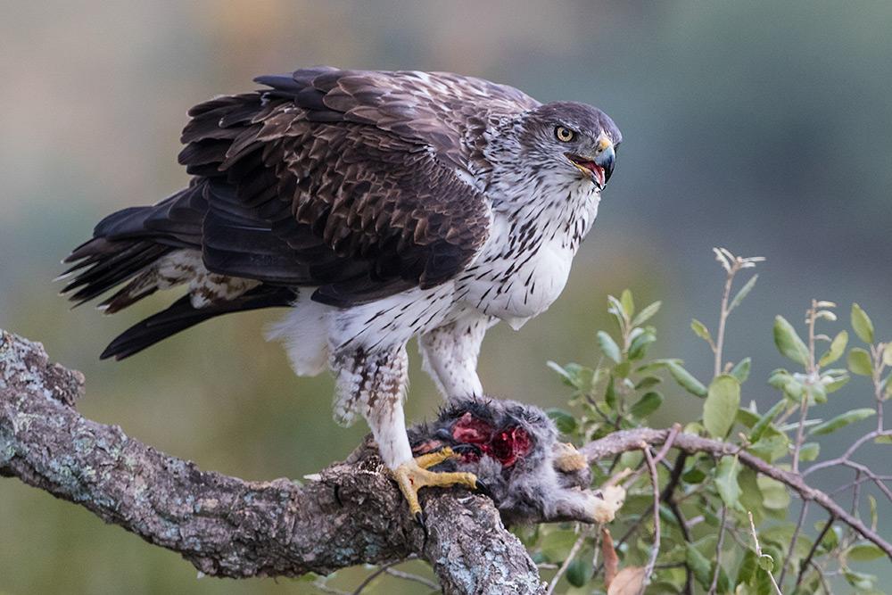 aguia-perdigueira_i7a4735