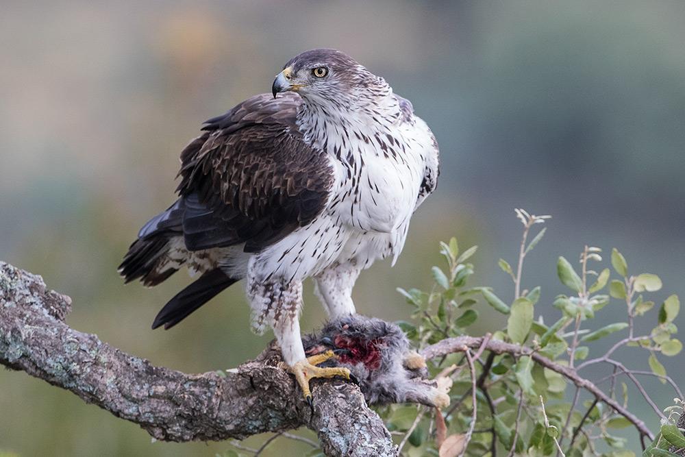 aguia-perdigueira_i7a4747