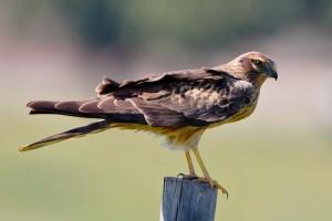 Águia-caçadeira fêmea