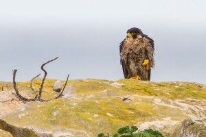 Falcão-peregrino fêmea