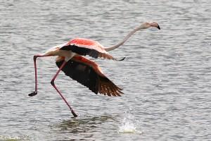 Flamingo-