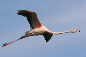 Flamingo voa