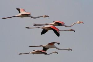 Flamingos voam