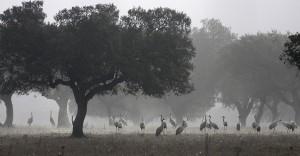 Grous no nevoeiro, Amareleja