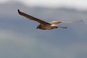 Tarataranhão-cinzento fêmea